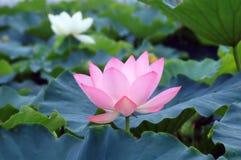 Lotus en été photo libre de droits