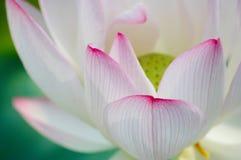 Lotus en été Photographie stock