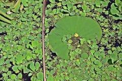 Lotus en agua foto de archivo