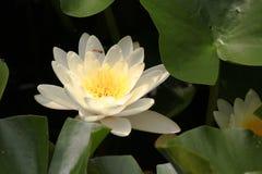 Lotus en bij Stock Fotografie