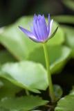 Lotus en blad Stock Afbeeldingen