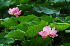 Lotus en blad Stock Fotografie