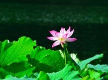 Lotus en bladeren Royalty-vrije Stock Afbeelding
