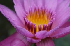 Lotus en Daling Stock Foto's
