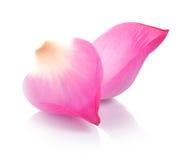 Lotus en el backround blanco Fotografía de archivo libre de regalías