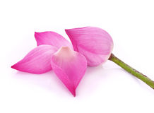 Lotus en el backround blanco Imágenes de archivo libres de regalías