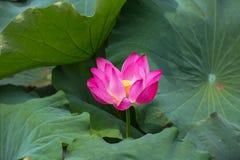 Lotus en fleur Images libres de droits