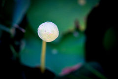 Lotus en fondo natural de Tailandia Imagen de archivo