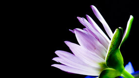 Lotus en fondo oscuro Imagen de archivo
