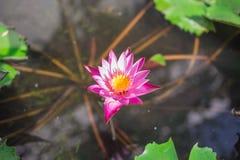 Lotus en groen stock fotografie