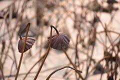 Lotus en hiver Images libres de droits