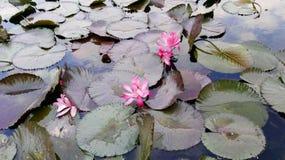 Lotus en Hong Kong Image stock