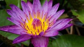 Lotus en jardín Foto de archivo libre de regalías