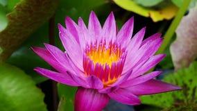 Lotus en jardín Imagenes de archivo