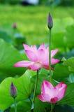 Lotus en knop Royalty-vrije Stock Foto's