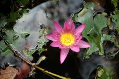 Lotus en la hoja Foto de archivo libre de regalías
