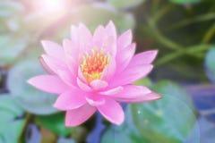 Lotus en ochtendlicht stock foto's