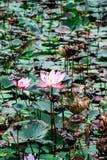 Lotus en pantano Imágenes de archivo libres de regalías