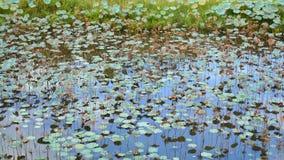 Lotus en pantano metrajes
