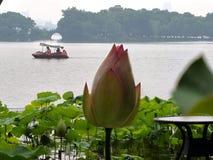 Lotus en pleine floraison images libres de droits