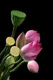 Lotus en rotan Stock Fotografie