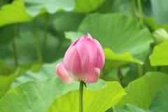 Lotus en Shangai Fotos de archivo libres de regalías