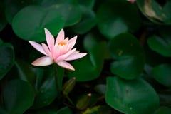 Lotus en stationnement Photographie stock