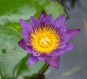 Lotus en tinas Imagen de archivo