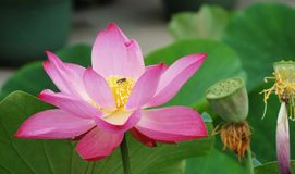 Lotus en zaad Royalty-vrije Stock Foto