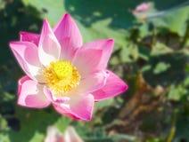 Lotus está en la charca natural imagenes de archivo