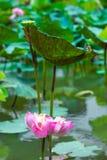 Lotus est arrosé avec des feuilles de lotus Photographie stock libre de droits