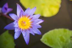 Lotus est une fleur de lotus avec les fleurs et le bokeh roses photographie stock
