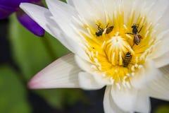 Lotus et abeille Photographie stock