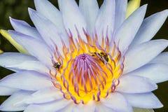 Lotus et abeille Photos libres de droits