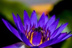 Lotus et abeille trois Images stock