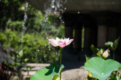 Lotus et feuilles de floraison Photo stock