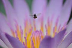 Lotus et l'abeille Photographie stock libre de droits