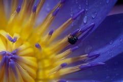 Lotus et la mouche Photographie stock libre de droits