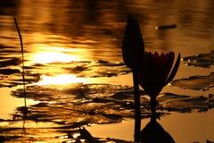 Lotus evening Royalty Free Stock Photos