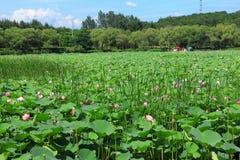 Lotus fält Arkivfoto