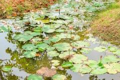 Lotus fält i aftonen Royaltyfri Bild