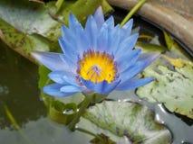 Lotus färgrika lilor i trädgården Royaltyfri Bild