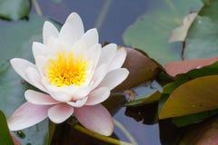 Lotus f de Nymphaea thermalis Photo stock