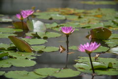 Lotus family. All lotus flowers here are at the best stage of it's life just like young people. Here I focus more on the second one stock photo