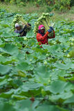 Lotus farm Stock Photo