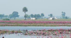 Lotus Farming At Gulawat Near Indore photographie stock