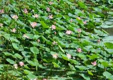 Lotus-Feld in der Blüte lizenzfreie stockfotos