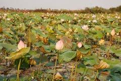Lotus-Feld, Kambodscha Lizenzfreie Stockfotografie