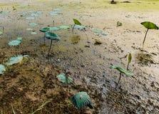 Lotus-Feld in Thailand lizenzfreies stockbild