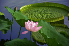 Lotus. This is a festive about lotus Royalty Free Stock Photography